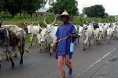 Ganduje to Buhari: Ban North-South Cattle Movement to End Herders/Farmers Clashes